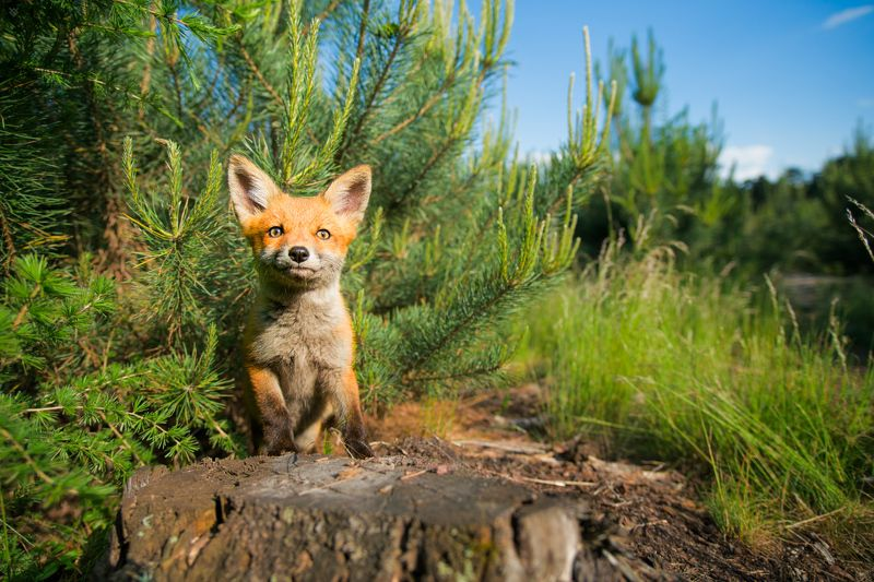 red fox, fox, wildlife, forest Negotiationsphoto preview