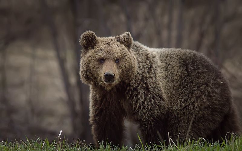 медведи,коми,печора,животные,ток, Мишки в городеphoto preview