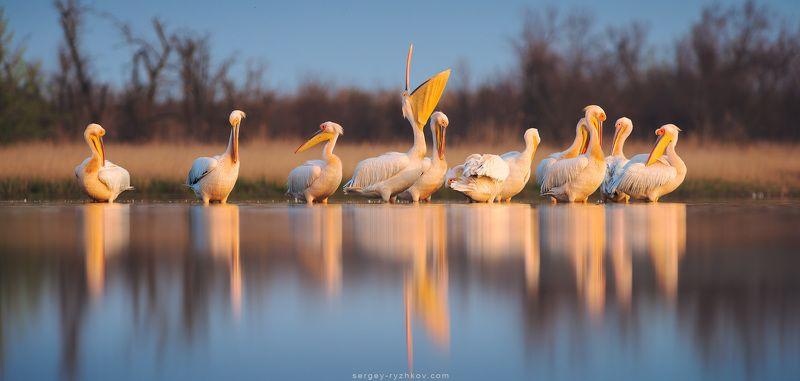 пеликан, птицы, природа, животные, Кинбурн, Украина, wildlife, nature, pelican, birds,  Пеликаныphoto preview