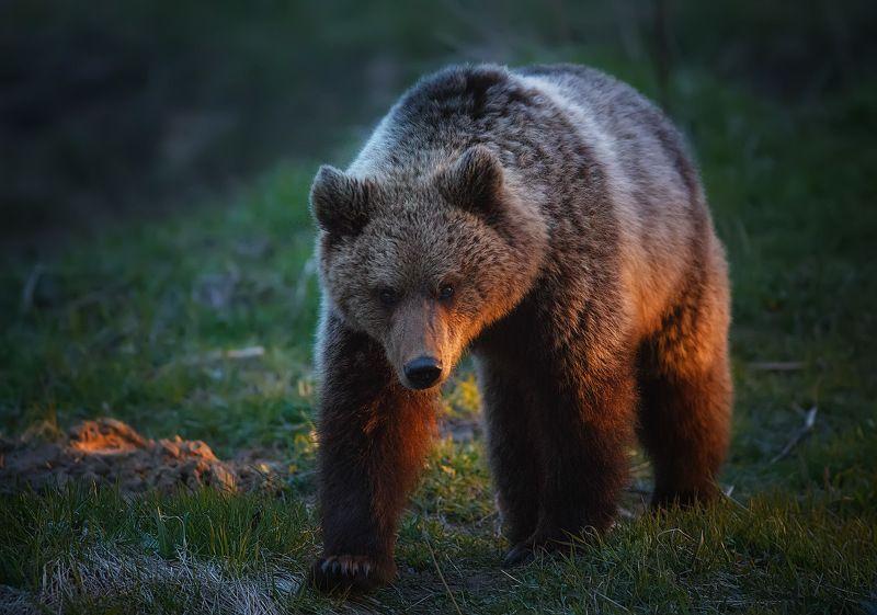 медведи,коми,печора,животные,вечер Мишка на севереphoto preview