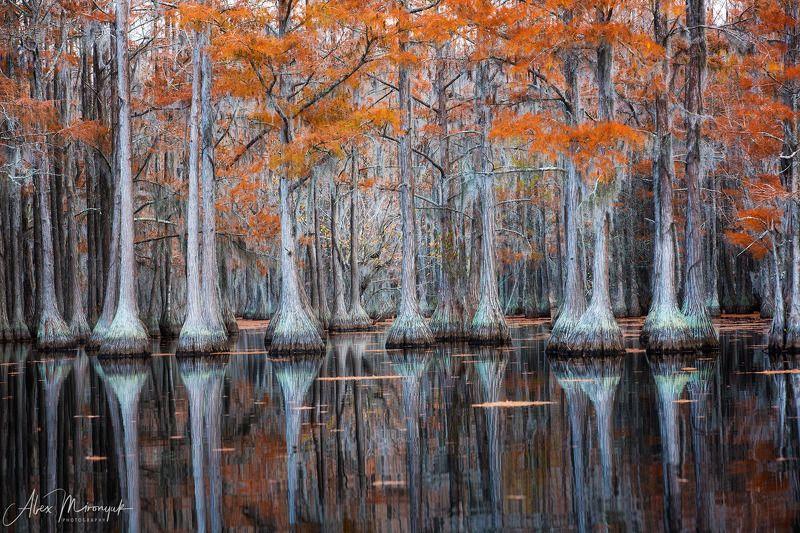 болото, кипарис, сша, джорджия, осень, фототур, отражение Кипарисовый Ритмphoto preview