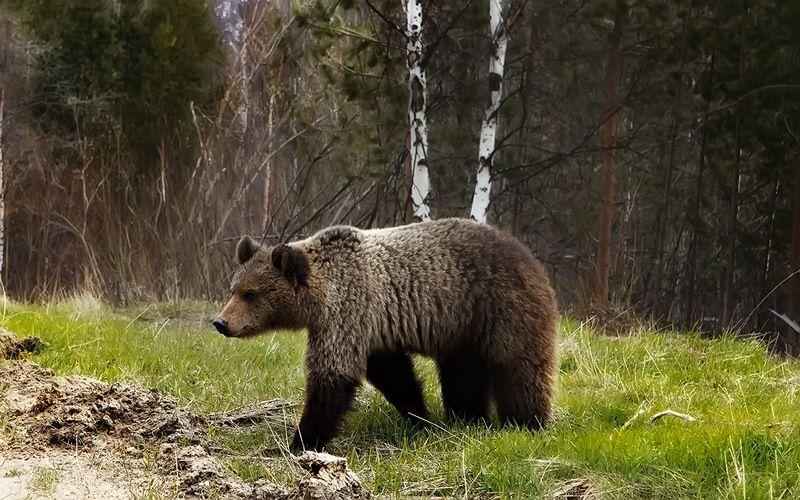 медведи,коми,печора,животные,город,встреча Весенняя встречяphoto preview