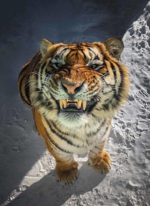 амурский, тигр Тигриное селфиphoto preview