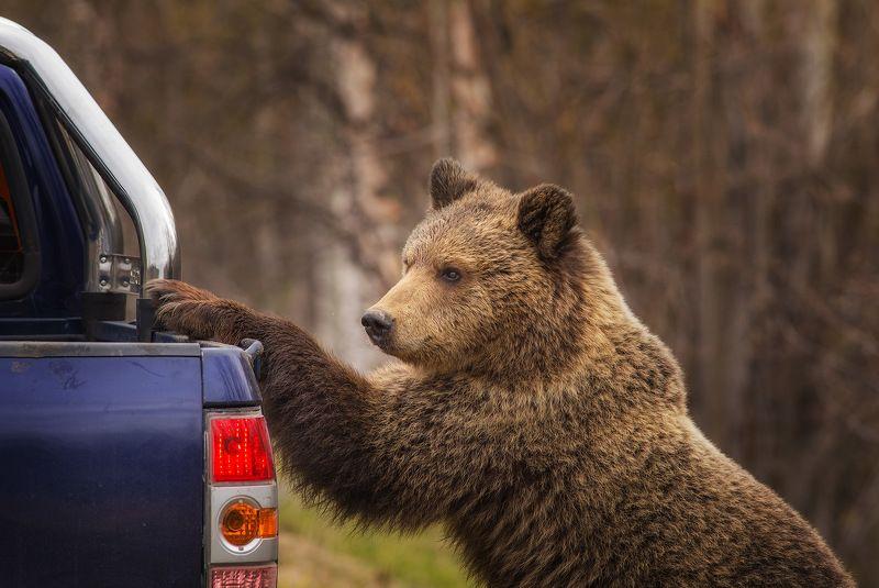 медведи,коми,печора,животные, Нашествие медведей в КОМИ г.Печораphoto preview