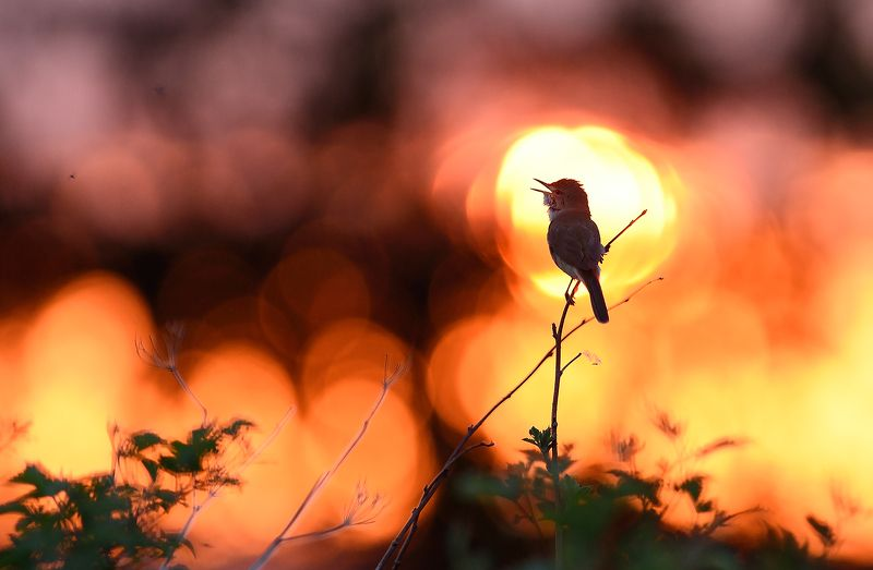 Песня рассвету. Садовая камышевка!photo preview