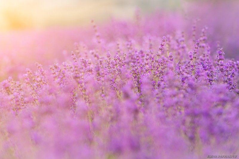 крым,лаванда,прованс,россия,фототур,поле,облака,закат,день,пейзаж,пурпурный,лето Лавандовое безумиеphoto preview