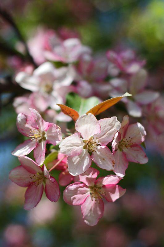 яблоня, розовый, весна, цветение Яблоневый бумphoto preview