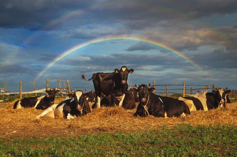 фото, природа, коровы, радуга, гроза Внимание, улыбаемся, девочки!photo preview