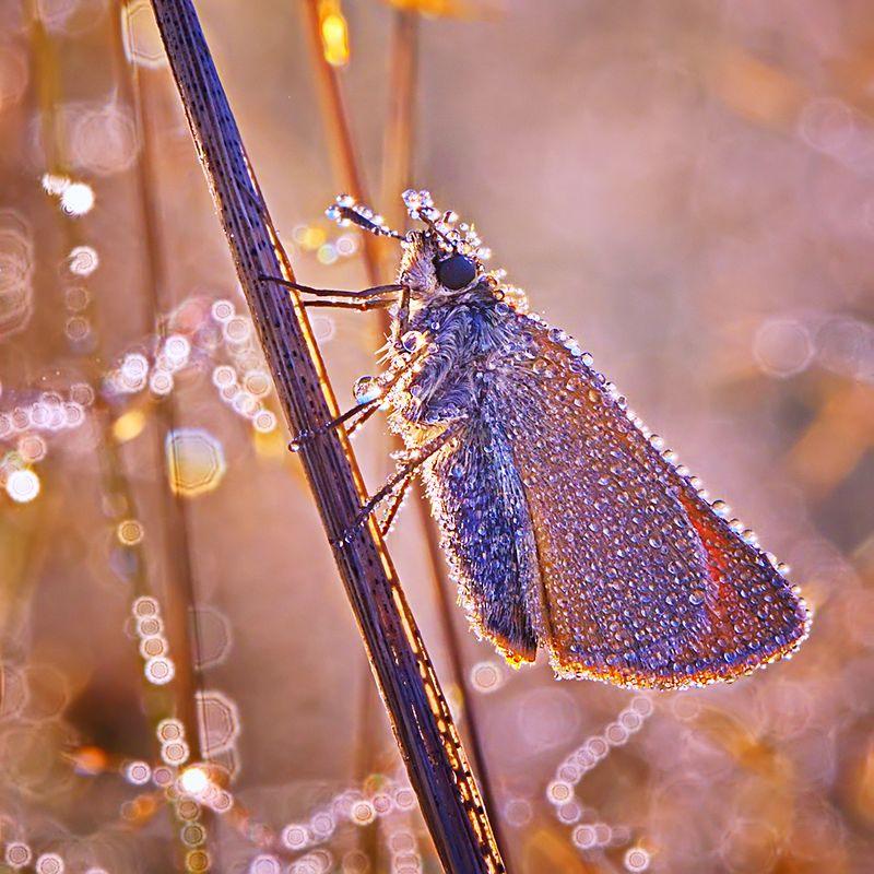 макро, насекомое, бабочка, роса, утро, природа В жемчужных нитяхphoto preview