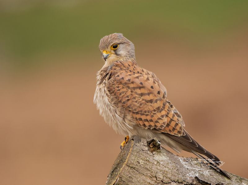 kesstrel, birds, birds of prey, nature, wildlife, woods, land Kestrelphoto preview