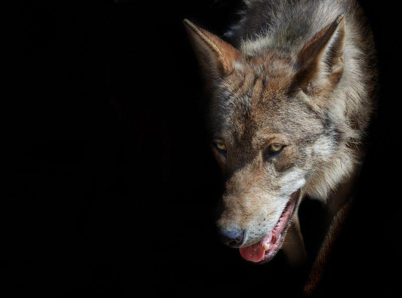волк Пришел серенький волчок - приготовили бочокphoto preview