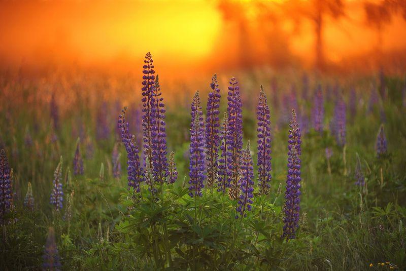 закат, люпины, природа Уж солнышко садится...photo preview