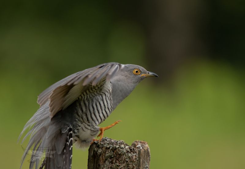 cuckoo, birds, nature, wildlife, woods action, landing Cuckoophoto preview
