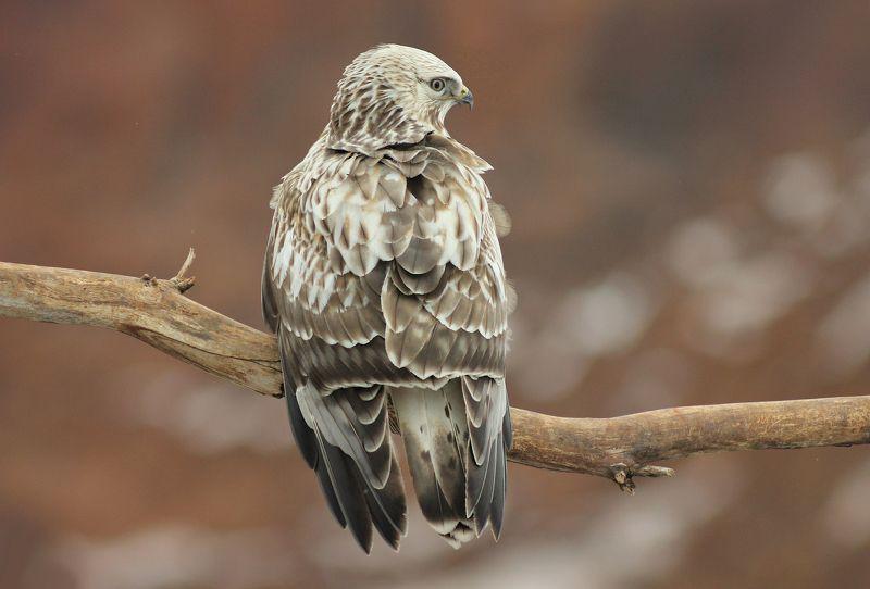 Зимник.(Buteo lagopus)photo preview