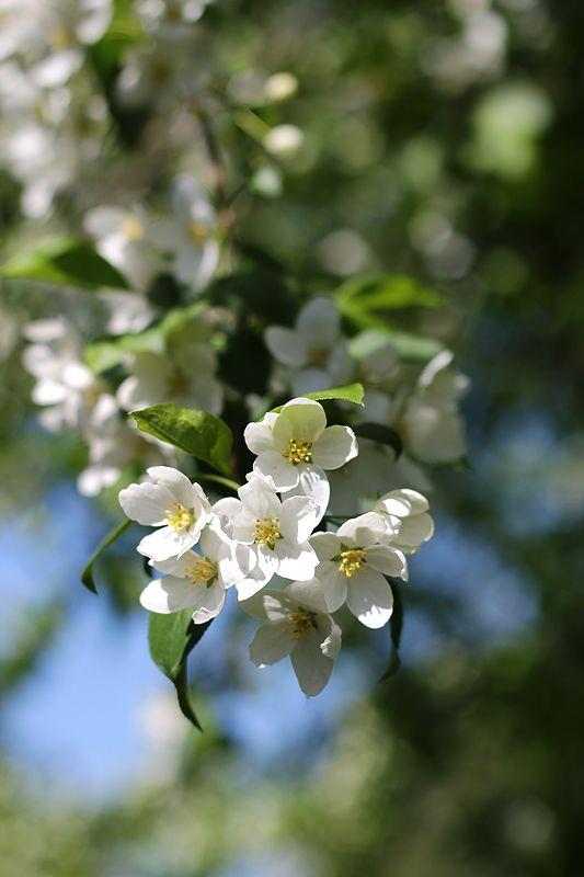 яблоня, белый, весна, цветение Яблоневый бум 2photo preview
