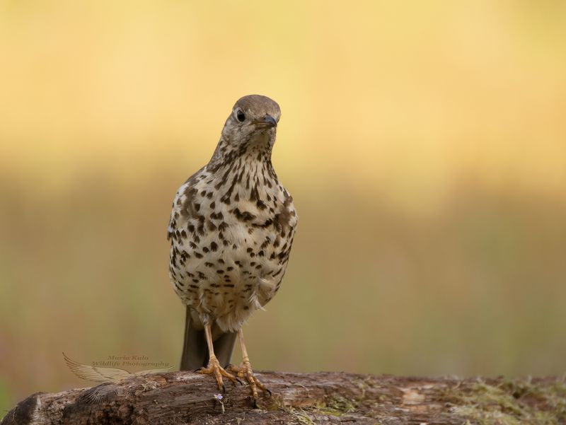 mistle thrush, thrush, bird, nature, animals, woods, land Mistle Thrushphoto preview