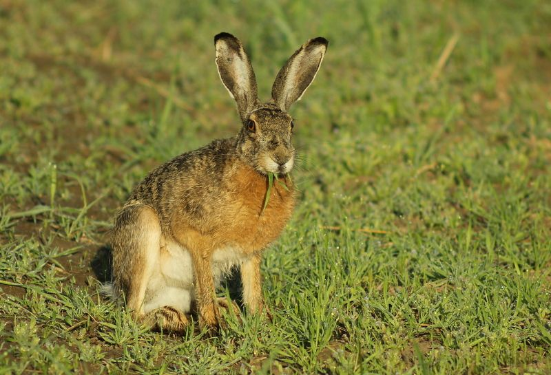 Заяц-русак.(Lepus europaeus)photo preview