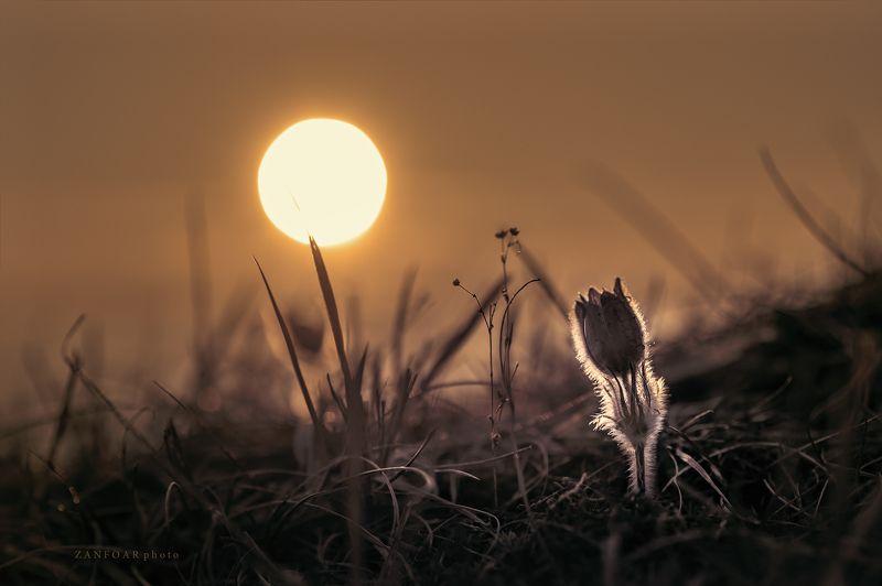 pulsatilla,pulsatila,pulsatilla grandis,flover,sunrise,sunsat,zanfoar,czech republic,nikon d750,nikon d7000 pulsatilla grandis ..photo preview