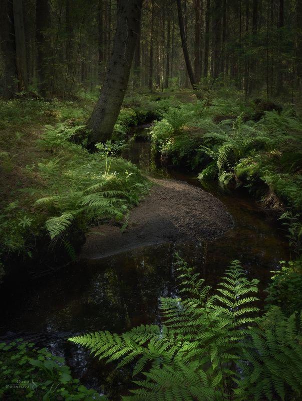 ручей, лес, сказочный лес, ели, ёлки, папоротник, рощино, ленинградская область, зелень, лето Чудесный ручейphoto preview