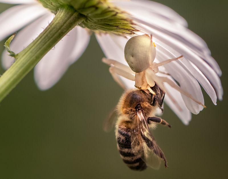 природа, макро, хищник и жертва, паук, пчела Охота короля Стахаphoto preview