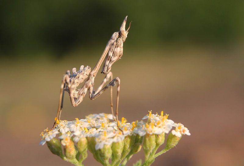 Эмпуза полосатая (лат. Empusa fasciata)photo preview