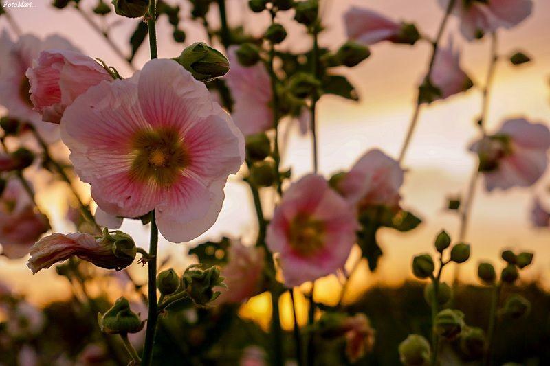 макро,цветы,мальва,закат, Мальва в лучах заката.photo preview