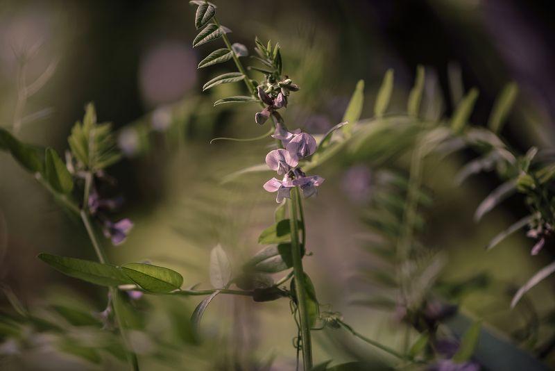 природа, макро, цветы, вика Антенное полеphoto preview