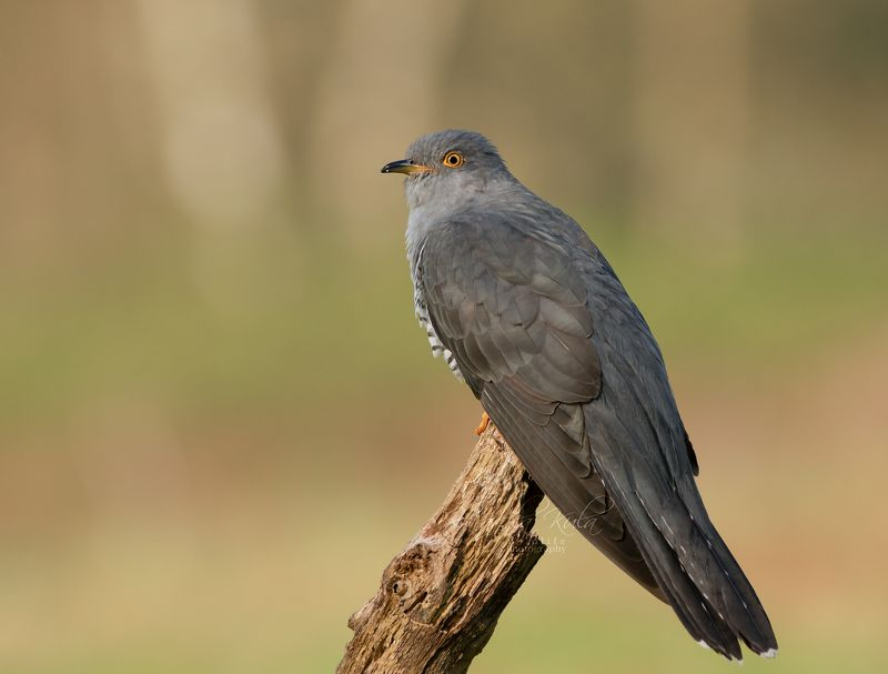 cuckoo, birds, nature, wildlife, woods Cuckoophoto preview