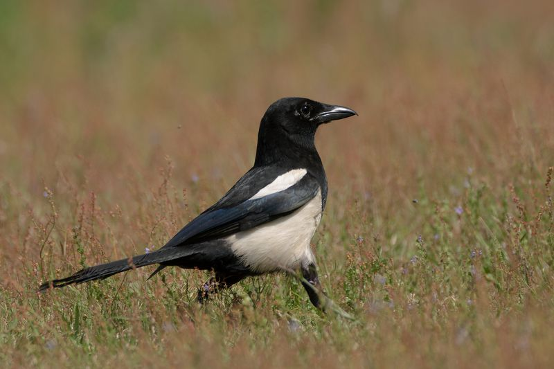 magpie, bird, nature, wildlife, woods, bush, land Magpiephoto preview