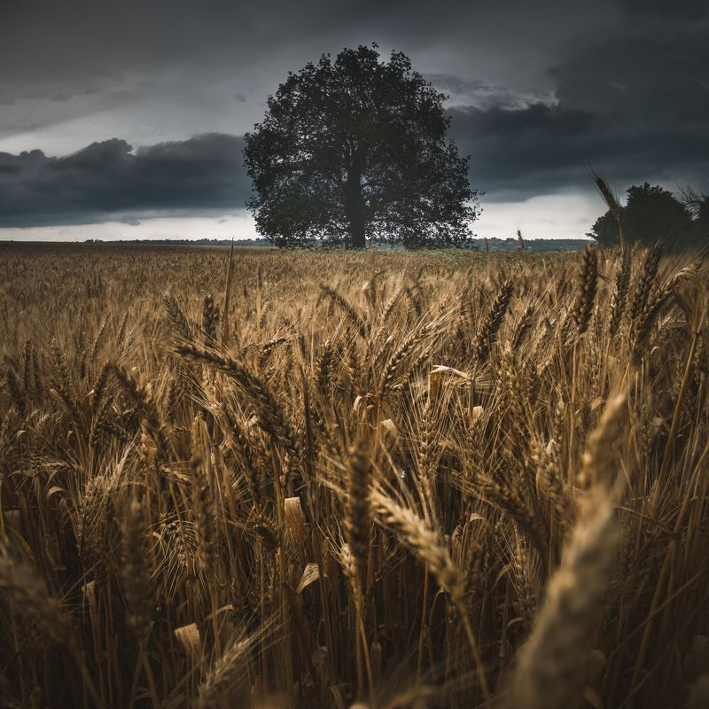landscape, field, wheat, storm, rain, clouds, sky, grain, barley, bulgaria, tree, moody, dramatic, close up, panorama, focus stack, nature, best, summer, sunlight, rays, homeland Житата | Пшеница | Summer Wheatphoto preview
