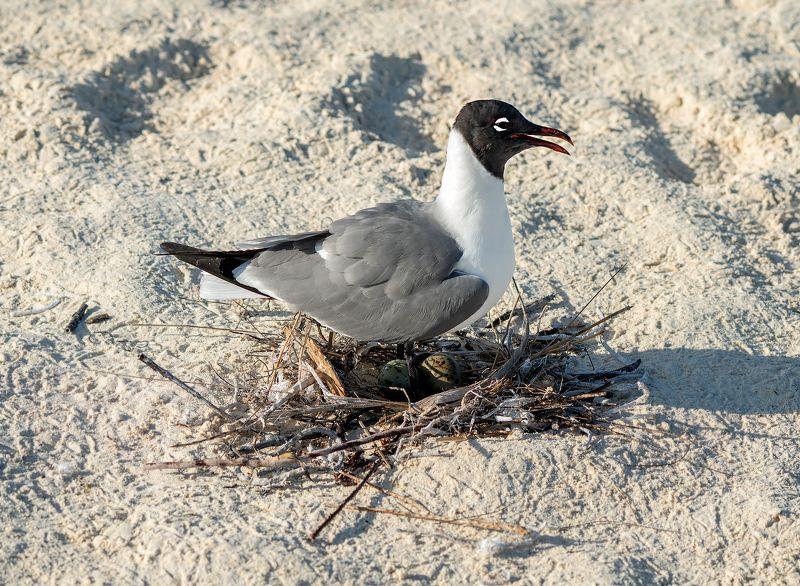 bonaparte\'s gull, nest, eggs, beach, sand, бонапартова чайка, гнездо, яйца,пляж,песок Happy momphoto preview