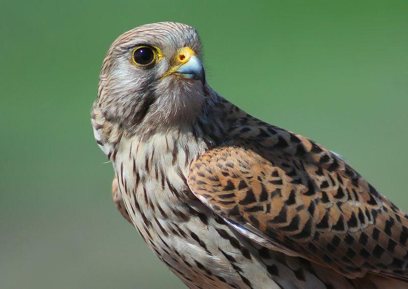 Обыкнове́нная пустельга́ (лат. Falco tinnunculus)photo preview