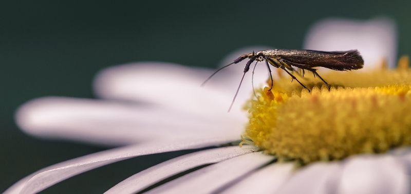 природа, макро, цветок, ромашка,  бабочка Старательphoto preview
