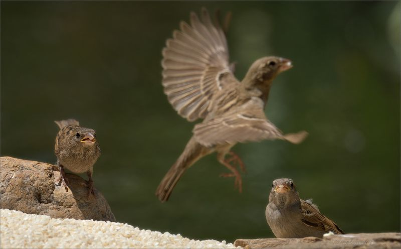 птицы, фауна, весна, воробей, рис Рисphoto preview