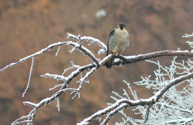 Сапса́н (лат. Falco peregrinus)photo preview