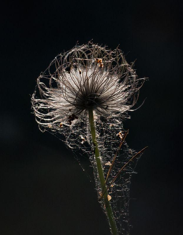 сон трава, прострел, весна, лес, мещёра, рязанская область Pro загадочный цветок …photo preview