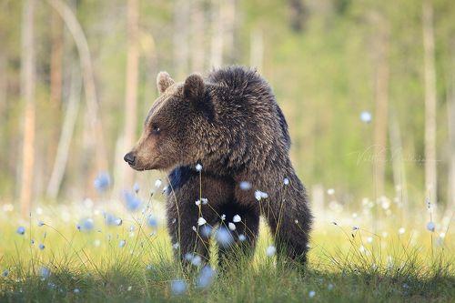 Медвежье лето