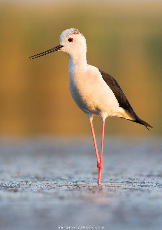 ходулочник, птицы, животные, природа, украина, кулик,  Ходулочникphoto preview