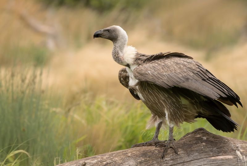 griffon vulture, vulture, birds, birds of prey, scavenger, nature, wildlife Griffon Vulturephoto preview
