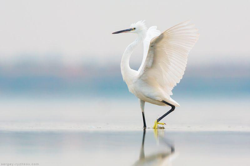 цапля, птицы, животные, природа, птица, украина, willdife, nature, birds, egret,  Малая белая цапляphoto preview