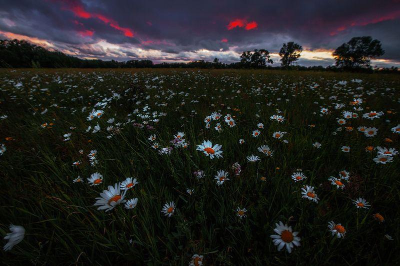 ромашки, пейзаж, закат, удрия Ромашковое настроениеphoto preview