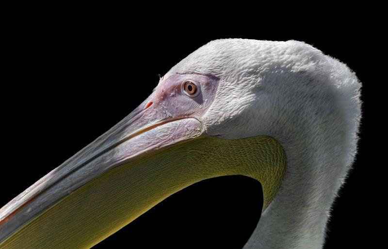 самка розового пеликана Самка розового пеликанаphoto preview