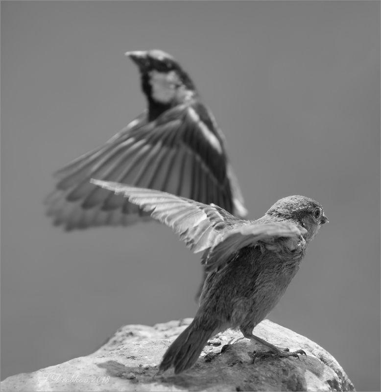 птицы, фауна, воробьи Стремление летатьphoto preview