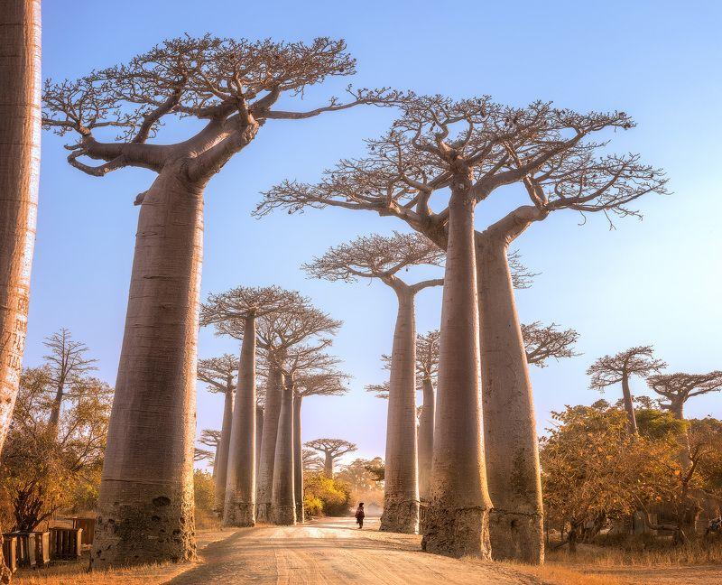 Мадагаскар, баобабы, пейзаж, лес, рассвет В лесу гигантских деревьевphoto preview