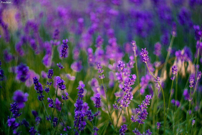 лаванда,цветы,лето, Лаванда...photo preview