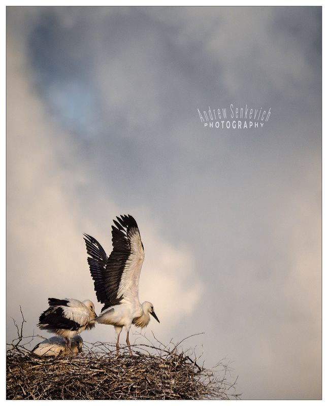 дикий, аист, крылья Аист расправляет крылья (2)photo preview