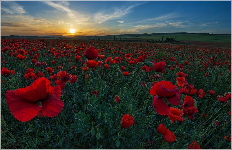 крым, утро, восход солнца, маки *  *  *photo preview