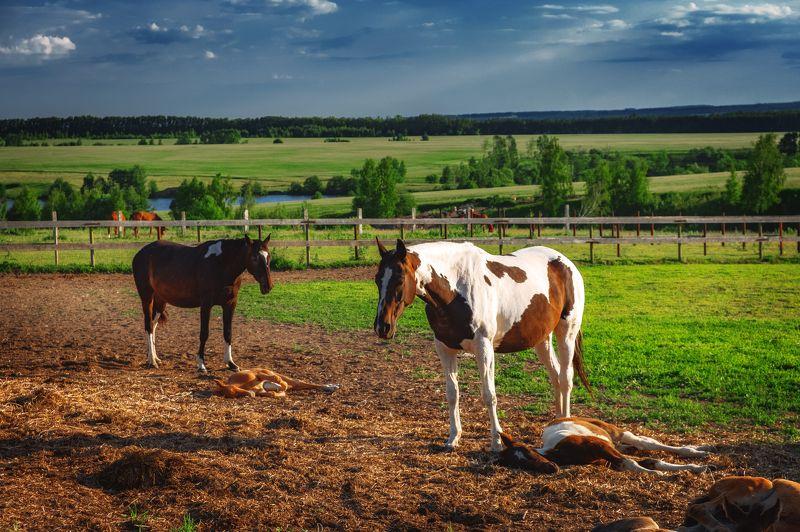 утро, лето, лошади, животные Утро на фермеphoto preview