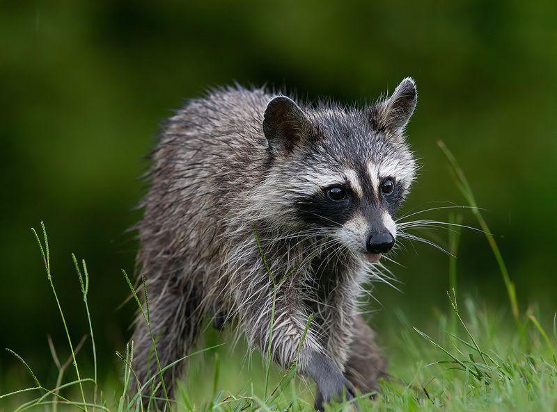 енот-полоскун, raccoon, енот,animals Енот-полоскун - Raccoonphoto preview