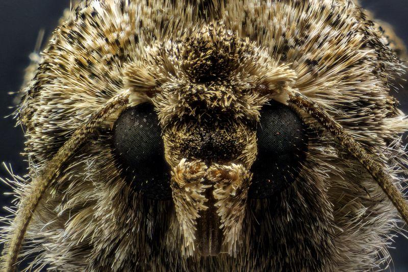 моль, макро, шуба, глаза. Мольphoto preview